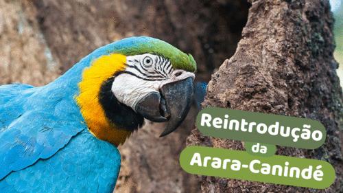 Arara-Canindé Voltará às Florestas Cariocas Depois de Mais de 200 Anos